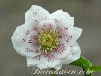 Helleborus x hybridus 'Barnhaven Hybrids' Double White Spotted Shades