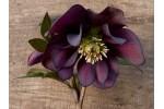 Helleborus x hybridus 'Barnhaven hybrids' Purple Doubles