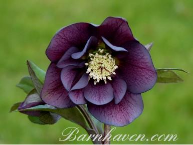 Helleborus x hybridus 'Barnhaven hybrids' Double Dark purple Shades