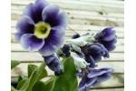 BARNHAVEN BORDER AURICULAS - Blue shades