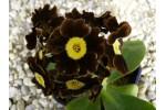 BARNHAVEN BORDER AURICULAS - Brown shades