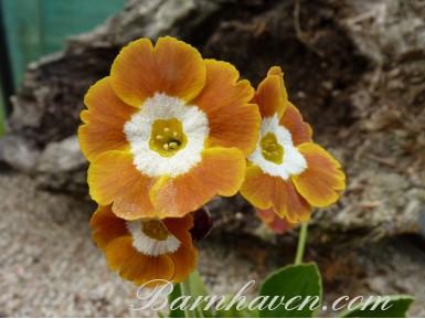 BARNHAVEN BORDER AURICULAS - Orange shades