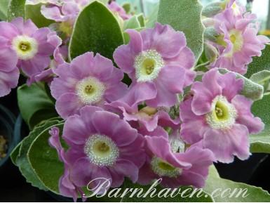 BARNHAVEN BORDER AURICULAS - Pink shades