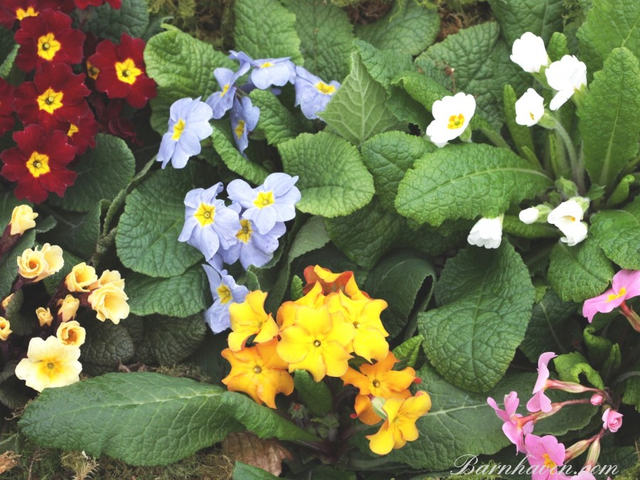 Wild Primrose Plant collection