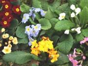 PRIMULA ACAULIS - Collection de plantes