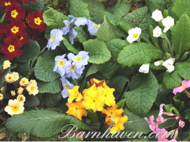 Collection de plantes primula