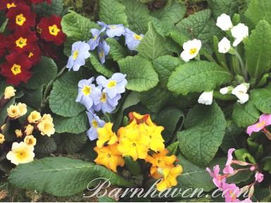 Collection de plantes primula