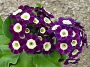 BARNHAVEN BORDER AURICULAS - Purple shades