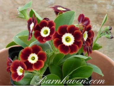 BARNHAVEN BORDER AURICULAS - Shaded red