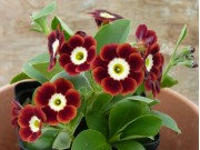 BARNHAVEN BORDER AURICULAS - Shaded Red shades