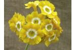 BARNHAVEN BORDER AURICULAS - Yellow shades