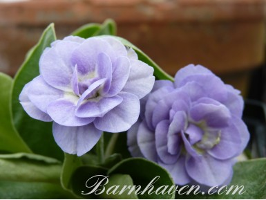 BARNHAVEN DOUBLE AURICULA - Blue shades