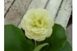 BARNHAVEN DOUBLE AURICULA - Cream shades