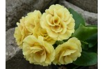 BARNHAVEN DOUBLE AURICULA - Gold shades