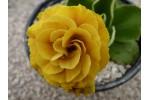 BARNHAVEN DOUBLE AURICULA - Orange shades