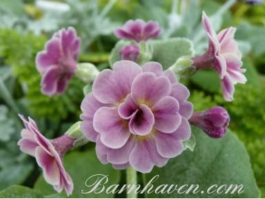 BARNHAVEN DOUBLE AURICULA - Pink shades