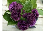 BARNHAVEN DOUBLE AURICULA - Purple shades