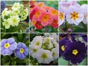 POLYANTHUS Plant collection