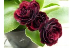 BARNHAVEN DOUBLE AURICULA - Red shades