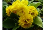 BARNHAVEN DOUBLE AURICULA - Yellow shades