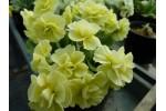 BARNHAVEN DOUBLE AURICULA - Yellow shades