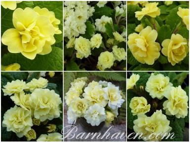 BARNHAVEN DOUBLE PRIMROSE - Yellows