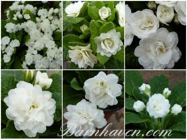 BARNHAVEN DOUBLE PRIMROSE - Whites