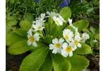White primrose Harbinger