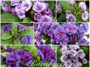 BARNHAVEN PRIMEVÈRE DOUBLE - mauve et violet