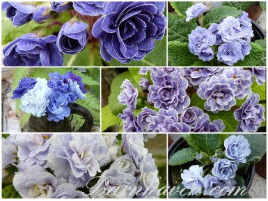 Blue double Primrose