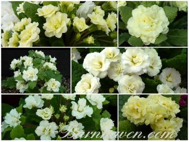BARNHAVEN DOUBLE PRIMROSE - Cream