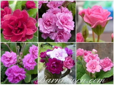 BARNHAVEN DOUBLE PRIMROSE - Pinks