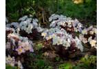Primula vulgaris DRUMCLIFF
