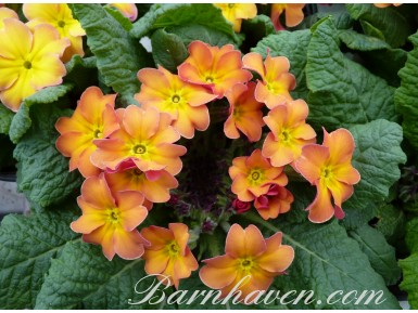 Primrose Butterscotch