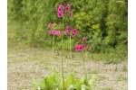 Primula japonica rosa