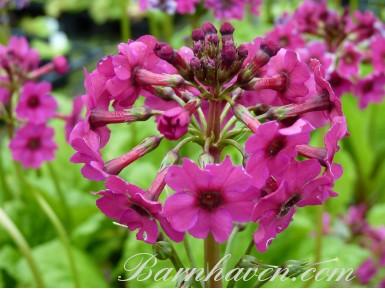 Primula japonica rose