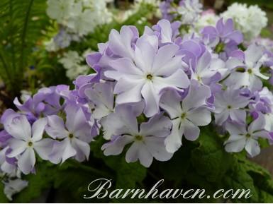 Japanese primrose MINUET