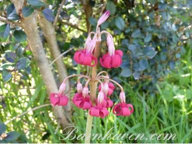 Primula maximowiczii