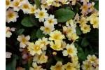 Yellow Primrose Osiered Amber