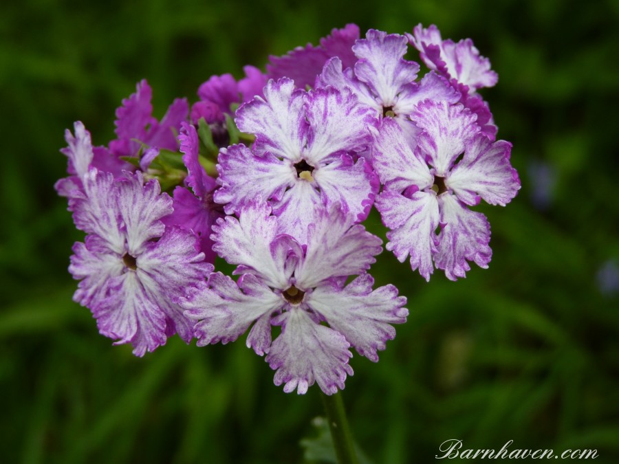 Japanese primrose APPLE BLOSSOM