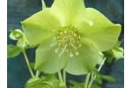 Green flower hellebore