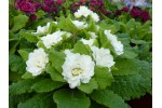 DOUBLE PRIMROSE  Jack-in-the-green