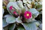Primula  BLARNEY CASTLE RED