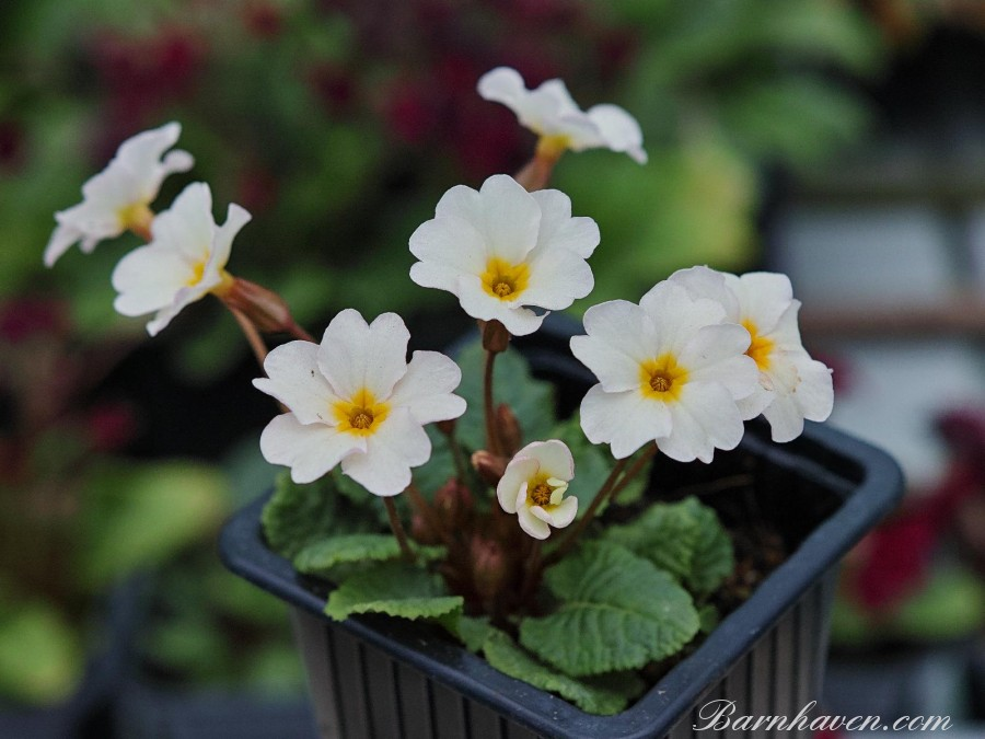 Primula STRAWBERRIES & CREAM