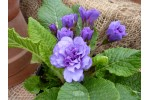 Double primrose PURPLE STORM