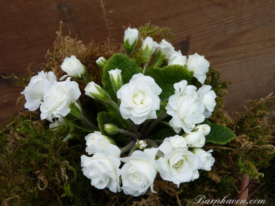 Double primrose SNOWGOOSE