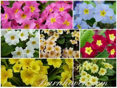 Spring Primrose Seed mix