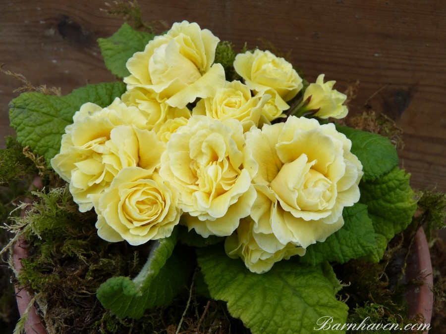 Double primrose BONHEUR