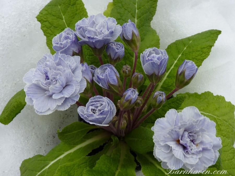 Double primrose VINTAGE