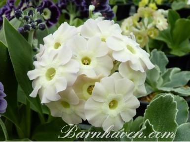 Auricule de jardin blanc